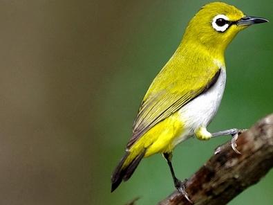 Cara Merawat Burung Pleci Yang Baik dan Benar