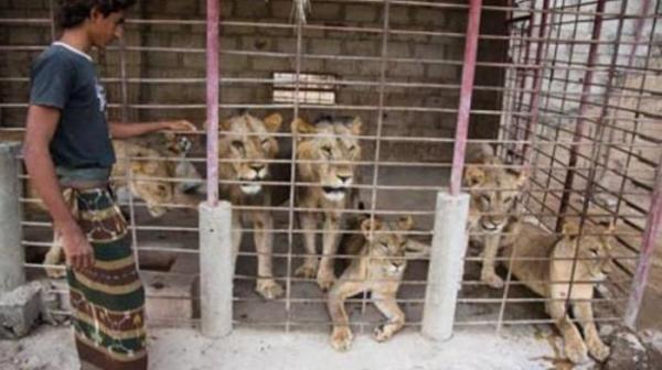 Hasan Bari berhasil beternak singa di rumahnya
